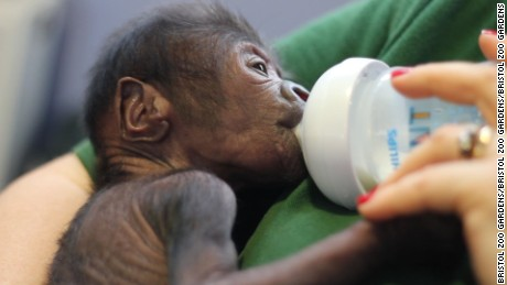 Endangered baby Lowland Gorilla delivered by caesarian at zoo in western England