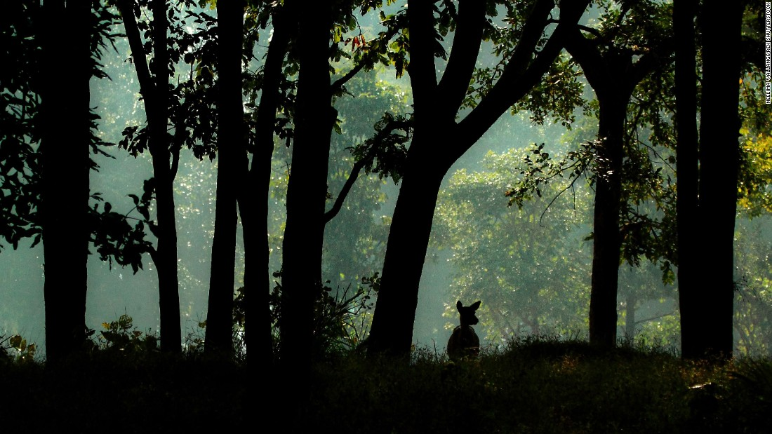"The serene forests of Kanha National Park are said to have inspired Rudyard Kipling's children's classic ""The Jungle Book,"" which was published in 1894 and made into a Disney film in 1967."