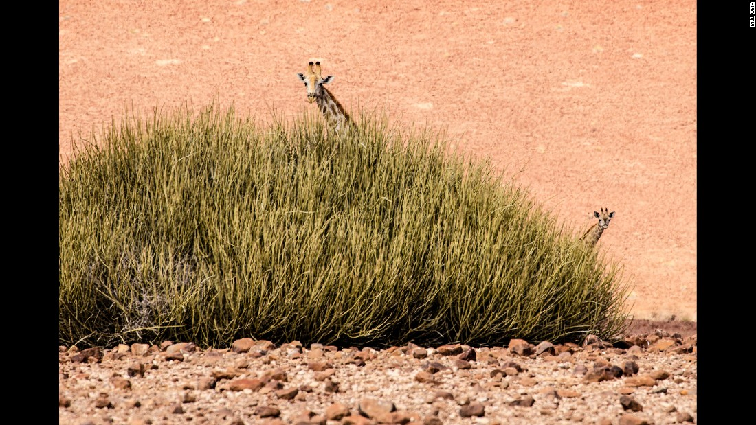 A mother and baby desert giraffe have nowhere to hide during the midday Namibian heat. In this particular stretch of desert, it hasn't rained for over three years.