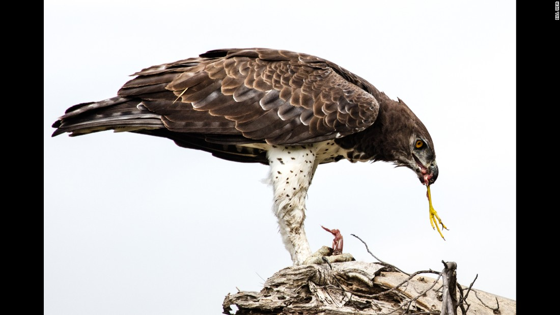 The delta comprises a mosaic of protected lands; the only dangers most of the animals here face are from natural predators like the African hawk eagle, feasting here on an unlucky slaty egret.