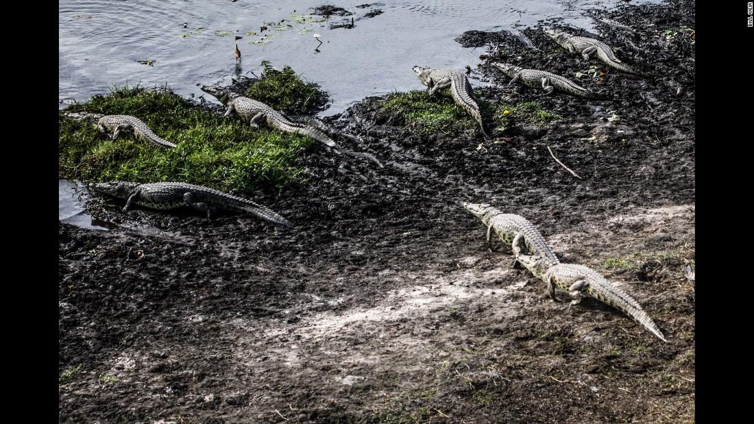 More than 60 species of reptiles inhabit the Okavango Delta, including crocodiles.