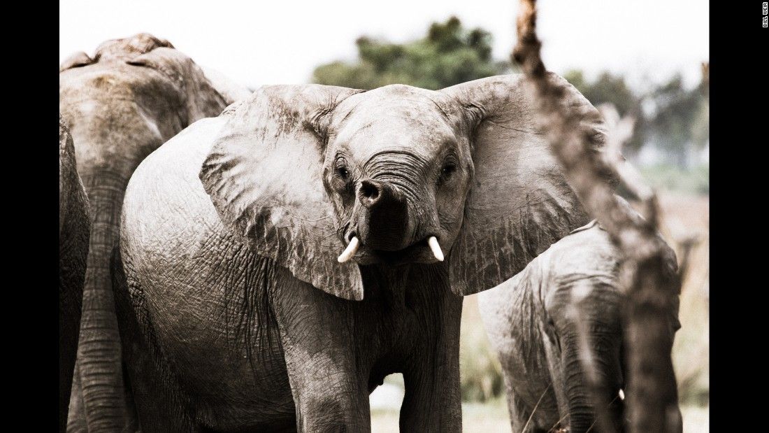 Botswana is home to the world's largest population of elephants -- about 130,000 -- and the only country in Africa where the elephant population is growing. The Okavango Delta is the core area for this species' survival.