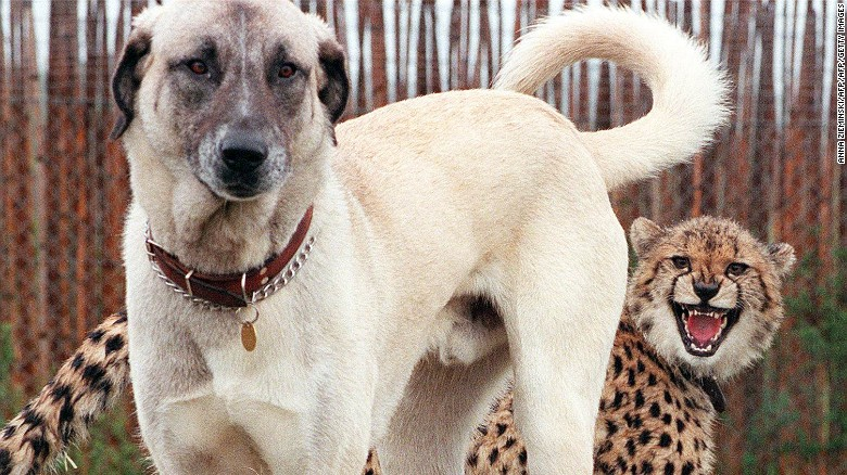 Nyana, a nine-month-old cheetah cub shows her displeasure with Merlin, an Anatolian Shepherd dog.