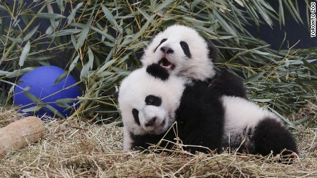 toronto zoo twin giant panda cubs named orig vstop cws_00005429