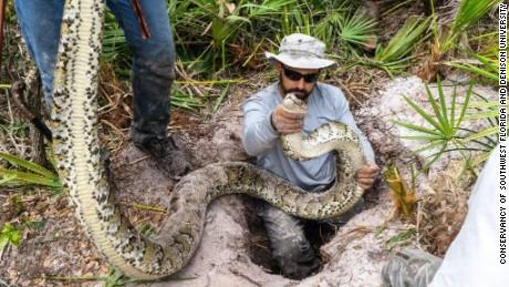 Largest Burmese Python Captured In Florida Cnn Com
