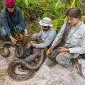 Burmese Python Removal florida 2