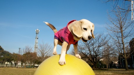 cnnee vo el cachorro purin beagle record guinness _00001628