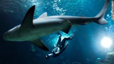 The four times Apnea world record holder, Pierre Frolla, dives near a shark, at the Aquarium of Paris.