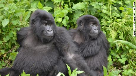Mountain gorillas that the Dian Fossey Gorilla Fund protects in Volcanoes National Park, Rwanda.