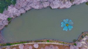 Aerial view of cherry trees in full blossom on a riverbank in Changsha city, central China's Hunan province, 6 March 2016.  Around 100 cherry trees blossomed during a cherry blossom festival in Changsha, central China's Hunan province. People from all over the city come to celebrate the festival.