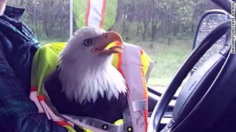 bald eagle hits truck on highway pkg_00012425