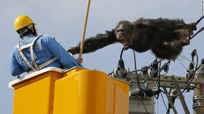 ChaCha the chimp briefly escapes from zoo in Japan