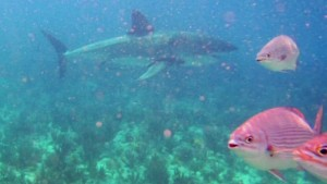 Great white shark caught on camera florida pkg_00001502.jpg