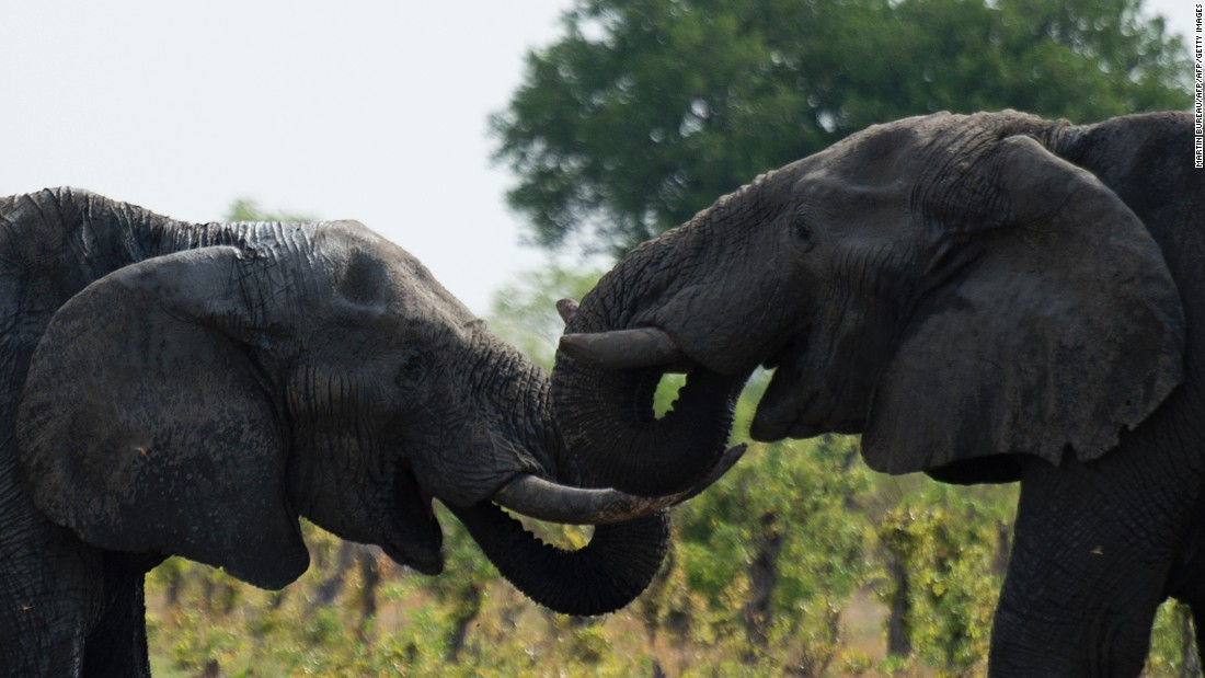 """Trade has become increasingly diverse, as typified by <a href=""""http://news.nationalgeographic.com/2016/01/160101-zimbabwe-elephants-china-export-zoos-conservation-jane-goodall/"""" target=""""_blank"""">recent deals</a> to export elephants from Zimbabwe to China. President Robert Mugabe's government sold 24 elephants to Chinese zoos in 2015, and despite protests from animal welfare groups, the figure will climb again this year."""