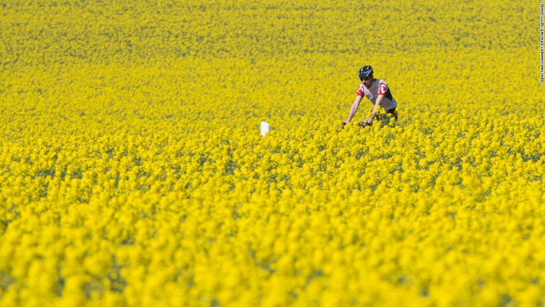 A man rides his bicycle in a colza field near Dresden, Germany, on Thursday, April 21.