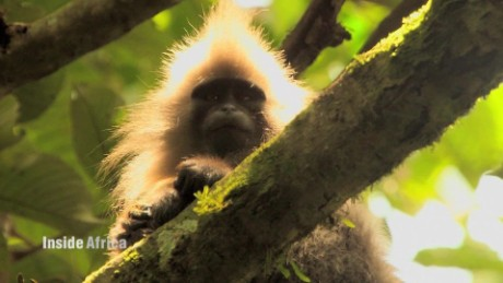 kipunji monkey of tanzania spc b_00053417.jpg