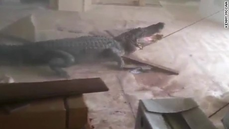 man finds alligator in living room louisiana pkg_00000704.jpg