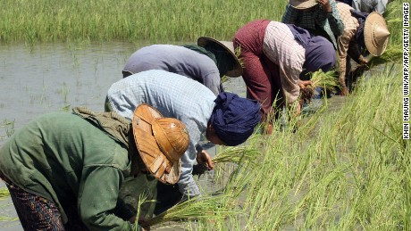 This photo taken on April 4, 2008 shows Myanmar farmers planting rice in irrigated fields in Taikkyi, about 90 kilometres north of Yangon.  In the recent rice crisis, big importers like Philippines and Sri Lanka, which don't grow enough rice to meet their local demand, are scrambling to sign deals to ensure their countries have enough to eat. Vietnam has agreed to supply the Philippines with 1.5 million tonnes of rice this year, while Sri Lanka's trade minister was expected to travel to Myanmar this weekend to seek 100,000 tonnes.   AFP PHOTO / Khin Maung WIN (Photo credit should read KHIN MAUNG WIN/AFP/Getty Images)