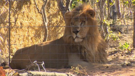 south africa lions rescue mckenzie pkg_00011014.jpg