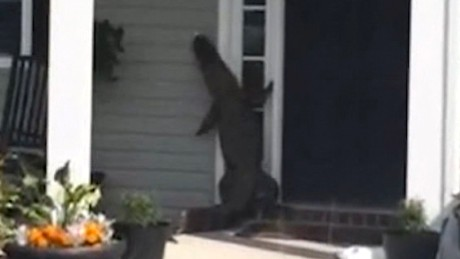 gator climbs front door south carolina pkg_00005603.jpg