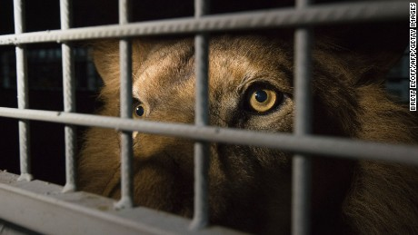 An African lion is seen in a cage as lions, that were born in captivity and held in circuses in South America, arrive at the OR Tambo International Airport on April 30, 2016 in Johannesburg, South Africa.   A massive lion airlift including 33 lions, 24 from circuses in Peru and nine from Colombia, rescued by Animal Defenders International arrived to their homeland after both countries banned the use of wild animals in circuses. Their destination is the natural African bush at Emoya Big Cat Sanctuary, South Africa. / AFP / BRETT ELOFF        (Photo credit should read BRETT ELOFF/AFP/Getty Images)