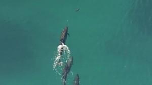 dolphins chase shark australia_00000425.jpg