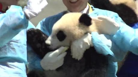 china pandas vo_00000906.jpg
