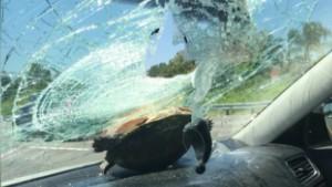 turtle crashes car windshield florida pkg_00002529