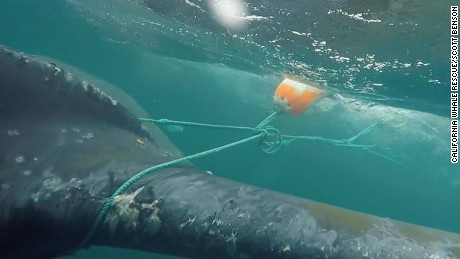 Humpback whale freed from tangled fishing lines