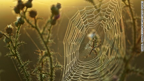 COLILIA, ROMANIA:  A spider guards his web covered by the morning dew on a field near Colilia village (230km east from Bucharest) in the romanian historical region of Dobrogea, 13 August 2006. AFP PHOTO DANIEL MIHAILESCU  (Photo credit should read DANIEL MIHAILESCU/AFP/Getty Images)