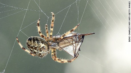 A European garden spider (Araneus diadematus) wraps its prey, a mosquito, in silk on September 16, 2014 in Lille, France. AFP PHOTO / DENIS CHARLET        (Photo credit should read DENIS CHARLET/AFP/Getty Images)