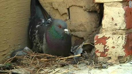 City uses 'birth control' on pigeons