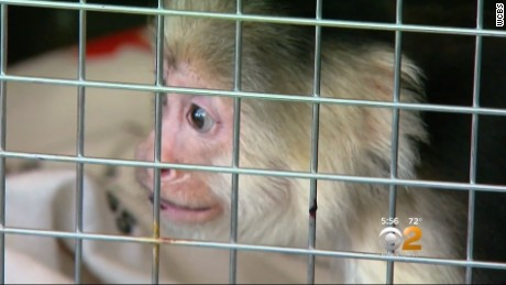 Beatrice, Nieves, 80, is devastated after she was forced to surrender her pet monkey of 22 years to state authorities.