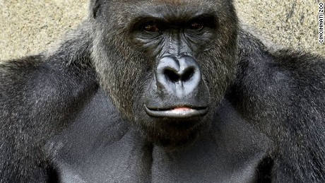 Harambe, 17-year-old male western lowland gorilla, was put down after it was seen dragging a boy who managed to get into the gorilla habitat.