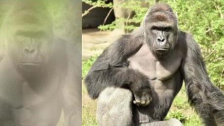 Cincinnati Gorilla Ron Magill Kinkade Intv_00002422.jpg