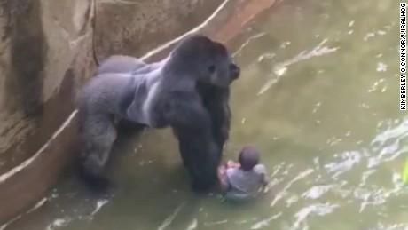boy falls into gorilla habitat pkg nr_00005109