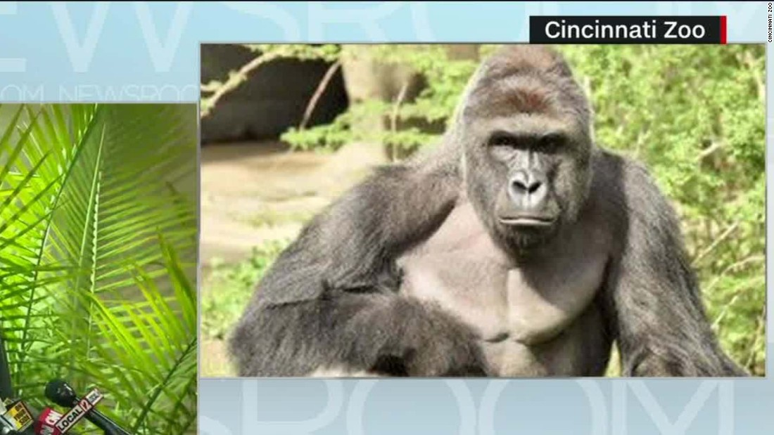 the contrasting perspectives on the death of harambe a cincinnati zoo gorilla A 17-year-old, 400-pound gorilla named harambe was killed at the cincinnati zoo saturday after a four-year-old boy climbed into the animal's enclosure.
