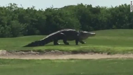 giant alligator golf course clip newday_00002304