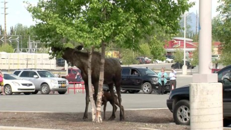 Moose Birth Parking Lot pkg_00010716.jpg