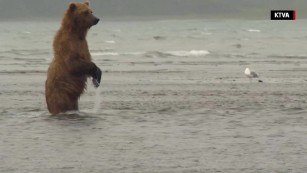 Hang out with brown bears in Katmai National Park