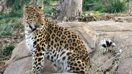 Zeya, a 4-year-old amur leopard, escaped her exhibit at Utah's Hogle Zoo on Tuesday.