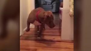 tiptoeing pitbull moos pkg _00003914.jpg