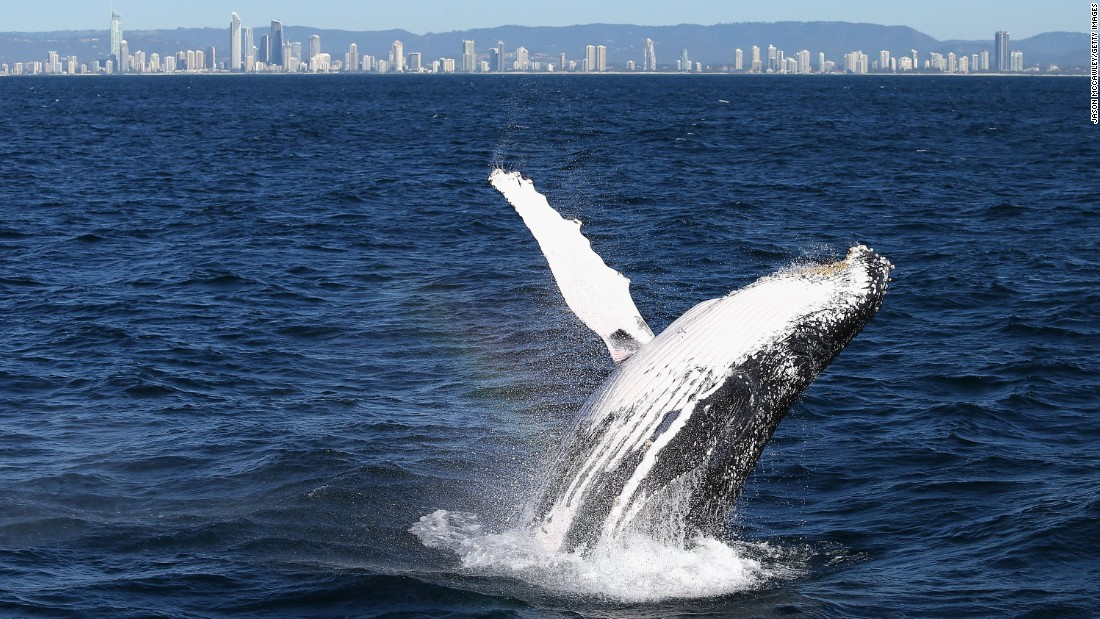 Whale sightings -- such as this humpback whale spotted on June 9 -- are common along Australia's east coast during the months of May to November as the animals travel north to breed in warmer waters.