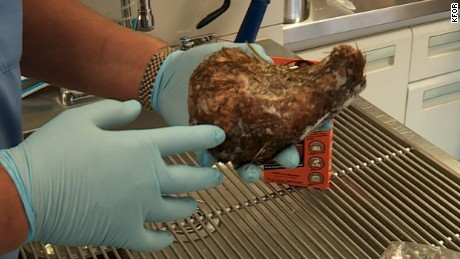 Here's what happens when a dog eats Gorilla Glue. CNN's Jeanne Moos has the sticky details      Dog Eats Glue  An Oklahoma City Weimaraner is doing well following emergency surgery after eating Gorilla Glue.  The stuff is deadly for dogs. Expands when it mixes with stomach juices and saliva and fills up the entire stomach.  It comes out after surgery as a hard lump that looks like a mold of the stomach. Turns out eating Gorilla Glue is a pretty common thing that dogs do and if they don't get operated on quickly, they can die. So this will be both cautionary tale and happy ending.   Plus we'll show x-rays of what other pets have swallowed from light bulbs to golf balls to more than 40 socks. Oh, and 5 rubber duckies.