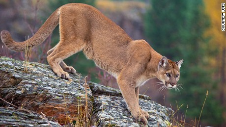 Mountain Lions, like this one pictured on the National Park website, are also known as pumas, cougars and panthers.