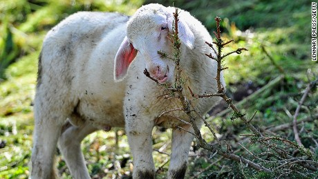 MOERNSHEIM, GERMANY - MAY 19: A sheep grazes on a meadow prior to an annual sheep drive through the town center on May 19, 2013 in Moernsheim, Germany. The annual event in the Altmuehltal region of northern Bavaria, which is know for its lamb production, coincides with Pentecost. (Photo by Lennart Preiss/Getty Images)
