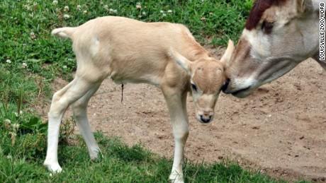 Baby addax born at zoo