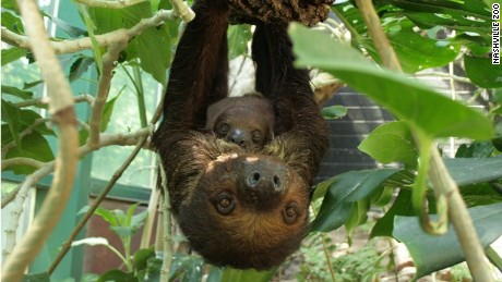 Two-toed sloths at zoo
