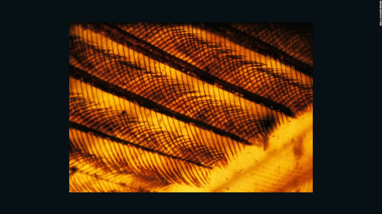 Photo of bird wing in amber.