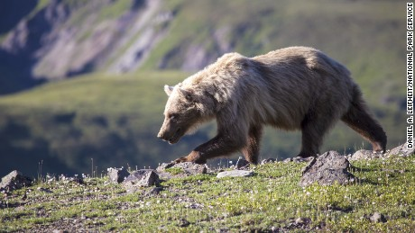 Between May 30, 2015, and September 18, 2015, 61 bear-human interactions were documented in Denali National Park, according to the park's website.